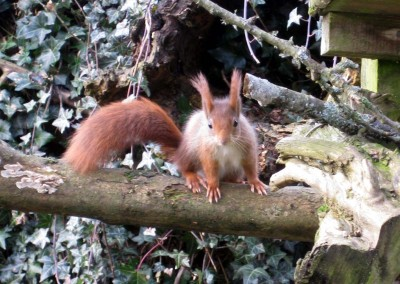 One of Escot's rare red squirrels