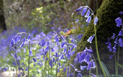 It's bluebell season in Devon