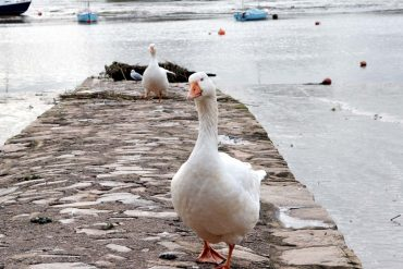 Photo: Inquisitive geese at Topsham