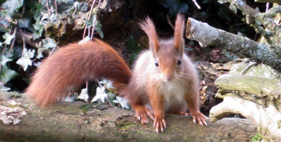 Photo: A red squirrel at Escot