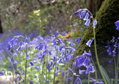 Bluebells in Holyford Woods