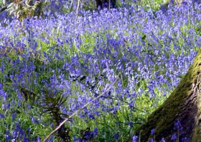 Bluebells in Holyford Woods, Devon
