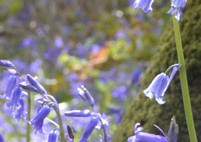 Photo: Bluebells in Holyford Woods, Devon