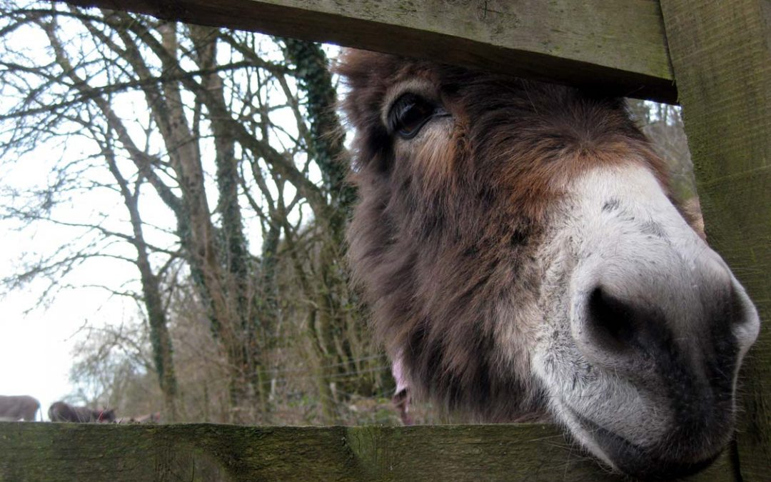 Photo: A curious donkey at the Donkey Sanctuary