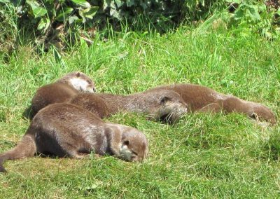Photo: Wildwood otters sleeping in the sun