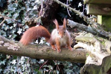 Photo: One of Escot's rare red squirrels